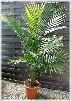 Wei stamm palme ravenea rivularis g nstig online kaufen - Hohe zimmerpflanzen ...