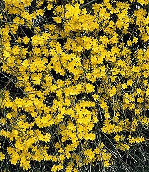Winter-Jasmin,1 Pflanze