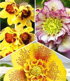 Winterblüher-Kollektion,3 Pflanzen