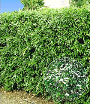 Winterharte Bambus-Hecke,10 Pflanzen