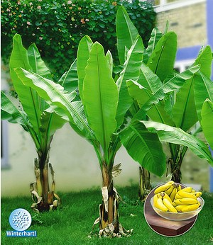 "Winterharte Banane ""grün"",1 Pflanze"