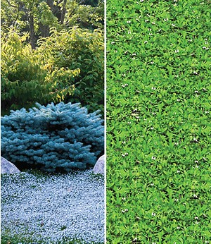 Winterharte-Bodendecker-Kollektion,7 Pflanzen
