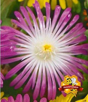 """Winterharte Eisblume """"Violett Wonder"""",3 Pflanzen"""