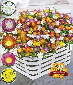 """Winterharte Eisblumen """"Wheels of Wonder®"""" Farbmix,5 Pflanzen"""