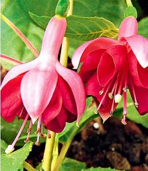 """Winterharte Fuchsie """"Garden News"""",3 Pflanzen"""
