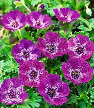 "Winterharte Geranie ""JollyJewel Lilac®"",1 Knolle"