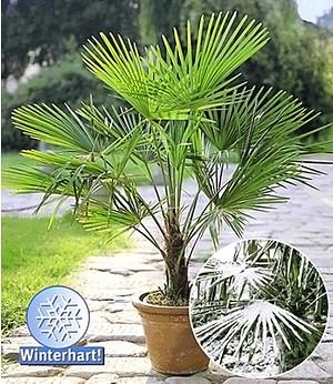 Winterharte Kübel-Palme 1 Pflanze, Chinesische Hanfpalme