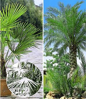 Winterharte Palmen-Sortiment zum Vorteilspreis,2 Pflanzen