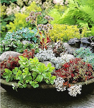 Winterharte Sedum-Mischung,6 Pflanzen
