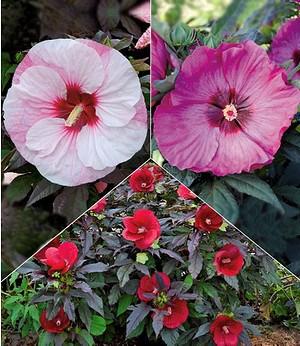 "Winterharter Hibiskus ""Summerific®"" ""Farb-Mix"",3 Pflanzen"