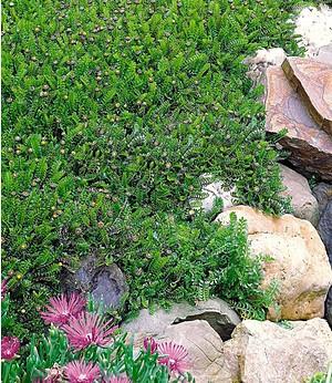Winterhartes Fiederpolster,3 Pflanzen