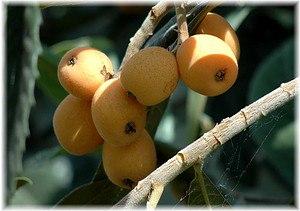 Wollmispel, Nespoli, Loquat Eriobotrya japonica