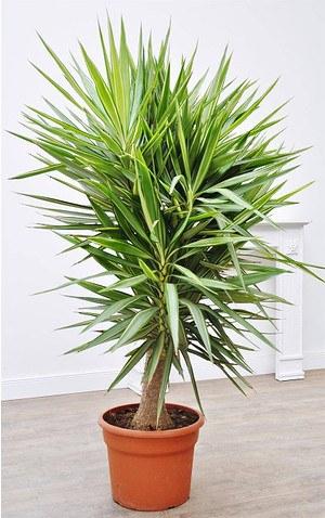Yucca (Jewel) Riesen-Palmlilie