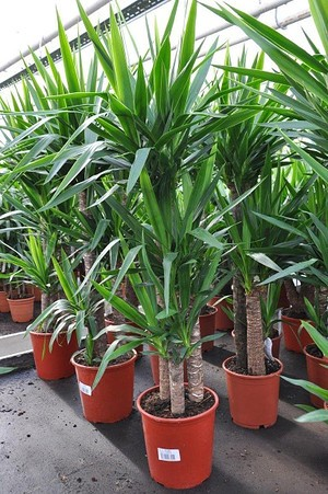 Yuccapalme (Riesen-Palmlilie) 3 stämmig - Yucca elephantipes