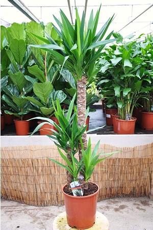 Yuccapalme (Riesen-Palmlilie) 3er - Yucca elephantipes