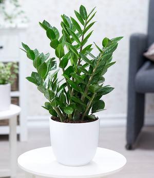 Zamioculcas,1 Pflanze