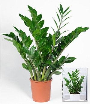 rosa zwerg banane 1 pflanze g nstig online kaufen mein sch ner garten shop. Black Bedroom Furniture Sets. Home Design Ideas