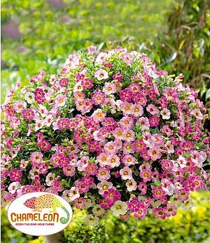 """Zauberglöckchen """"Chameleon Pink Passion"""" 3 Pflanzen Calibrachoa"""