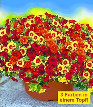"""Zauberglöckchen Petunie """"Vulcano"""",6 Töpfe Calibrachoa 3 Farben"""