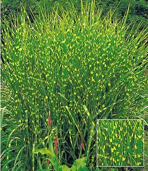 Zebra-Gras,1 Pflanze