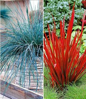 Ziergräser-Kollektion rot und blau,4 Pflanzen
