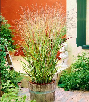 "Ziergras ""Panicum Shenandoah"",1 Pflanze"