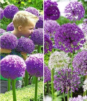 Zierlauch-, Allium-Sortiment zum Vorteilspreis,13 Zwiebeln