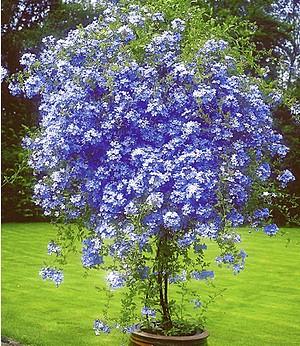 "Zierstrauch ""Plumbago"",2 Pflanzen Bleiwurz Plumbago auriculata"