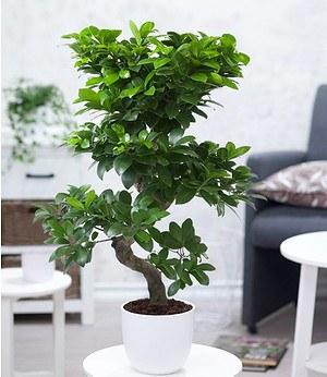 """Zimmerbonsai Ficus """"Ginseng""""ca 40 cm hoch,1 Pflanze"""