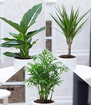 """Zimmerpflanzen-Mix """"Fresh Air"""", 3 Pflanzen"""