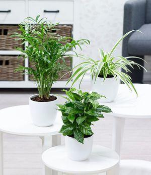 """Zimmerpflanzen-Mix """"Tropic"""",3Pflanzen"""