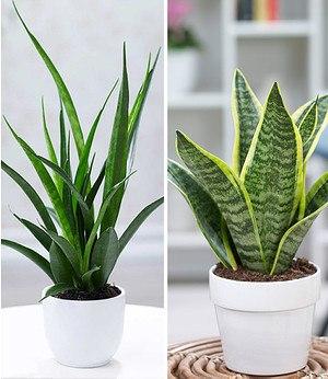 Zimmerpflanzen-MixBogenhanf-Duo,2 Pflanzen