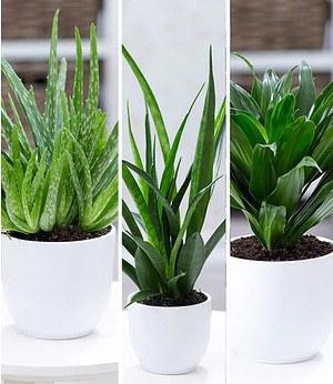"""Zimmerpflanzen-Mix""""Grüne Lieblinge"""",3 Pflanzen"""