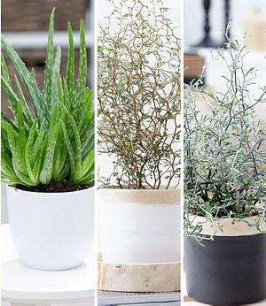 Zimmerpflanzen-MixPflegeleicht,3 Pflanzen