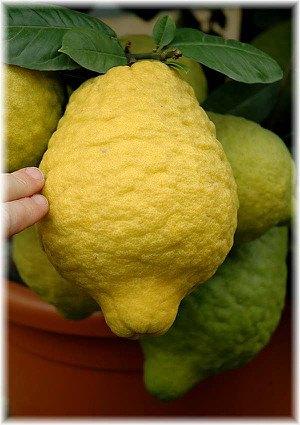 Zitronatzitrone Citrus medica ´Maxima`