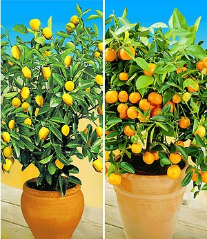 Zitronen- & Orangenbaum,2 Pflanzen