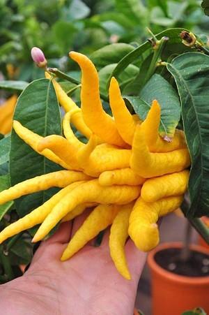 Zitronenbaum (Buddhas Hand) - Citrus medica Digitata