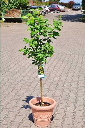Zitronenbaum (Spanische Zitrone) - Citrus limon Eureka