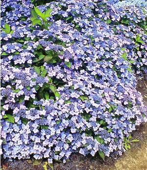 "Zwerg-Hortensie ""Koreana"",1 Pflanze"