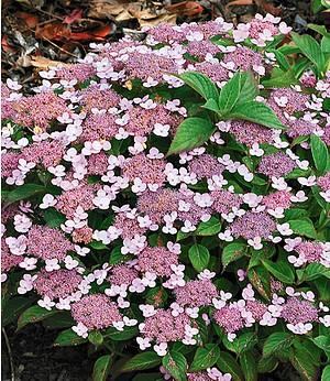 """Zwerg-Hortensie """"Lace Delight"""",1 Pflanze"""