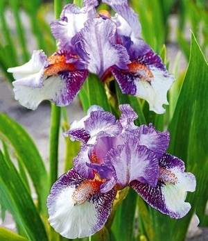 """Zwerg-Iris """"Sequel"""",3 Knollen"""