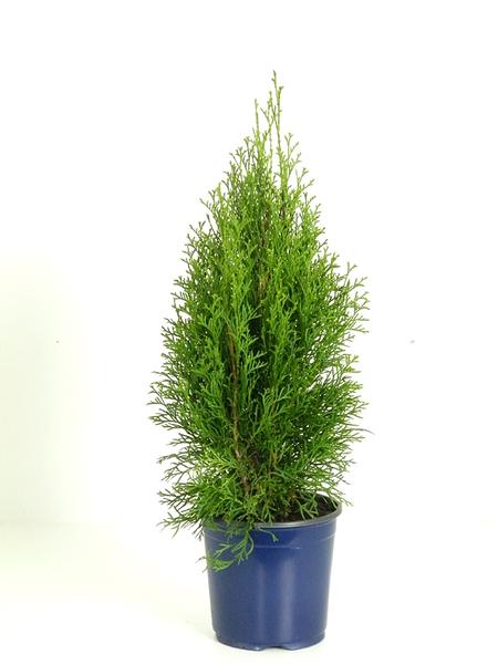 Abendländischer Lebensbaum Smaragd', ca. 55-60 cm hoch