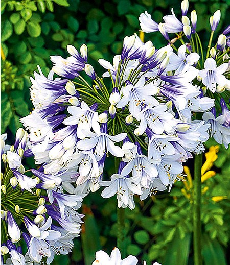 """Agapanthus """"Twister"""",1 Knolle"""