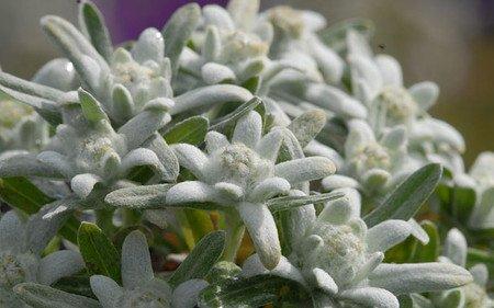 AllgäuStauden Alpen-Edelweiß Leontopodium alpinum 'Silberzwerg'