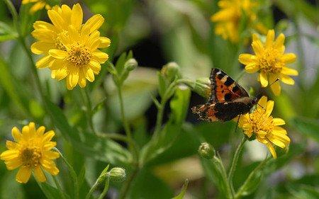 AllgäuStauden Amerikanische Arnika Arnica chamissonis ssp. foliosa
