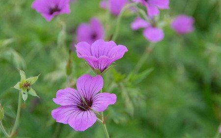 AllgäuStauden Armenischer Storchschnabel Geranium Psilostemon-Hybride 'Patricia'