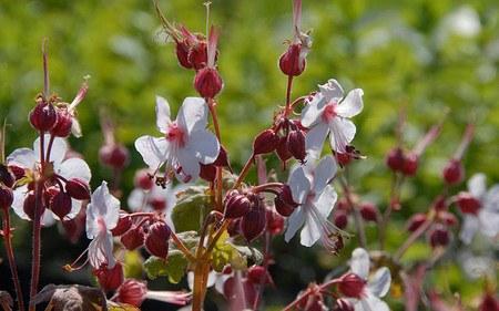 AllgäuStauden Balkan-Storchschnabel Geranium macrorrhizum 'Spessart'