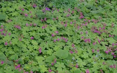 AllgäuStauden Balkan-Storchschnabel Geraniummacrorrhizum 'Czakor'