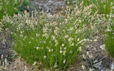 AllgäuStauden Berg-Segge Carex montana