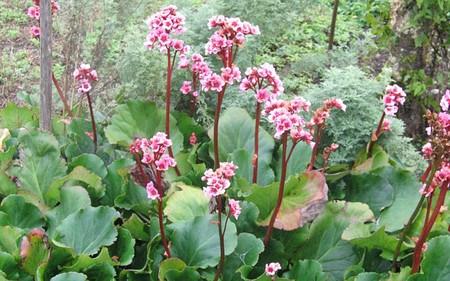 AllgäuStauden Bergenie Bergenia Hybride 'Herbstblüte'